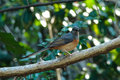 Wild shama bird a is standing on a branch of a tree it has green and grey feathers Stock Image