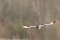 Wild Short eared owl in flight heading straight forward (Asio fl Royalty Free Stock Photo