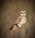 Wild short eared owl sitting on fence post sitting sideways but staring forwards asio flammeus Royalty Free Stock Photo
