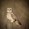 Wild Short eared owl sitting on fence post and staring forwards Royalty Free Stock Photo