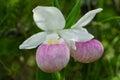 Wild Showy Lady`s Slipper Cypripedium reginae Royalty Free Stock Photo