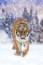 Wild siberian tiger Royalty Free Stock Photo