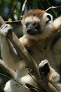 Wild sifaka lemur, Madagascar Royalty Free Stock Photos