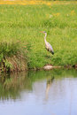 Wild silver egret, reflecting in a pond Royalty Free Stock Photo