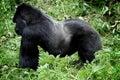 Salvaje gorila