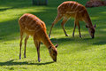 Wild Sitatungas Stock Images