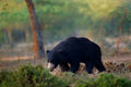 Wild sloth bear, Melursus ursinus, Ranthambore National Ppark, India. Sloth bear staring directly at camera, wildlife photo. Dange Royalty Free Stock Photo