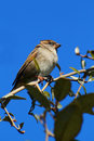 Wild Sparrow Royalty Free Stock Images