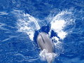 Wild Spinner Dolphin Splashing Stock Image