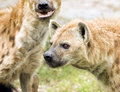 Wild spotted hyenas two on the hunt Royalty Free Stock Images