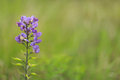 Wild spring flower bluebonnets a horizontal image of a newly sprouted wildflower in a field Royalty Free Stock Photo