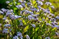 Wild spring light blue alpine forget-me-nots flowers Myosotis alpestris