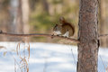 Wild squirrel a looks inquisitively in itasca state park in minnesota usa Royalty Free Stock Image