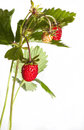 Wild srawberry Royalty Free Stock Images