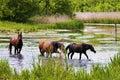 Wild steppe horses Royalty Free Stock Photo