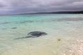Wild Stingray at Hamelin Bay Royalty Free Stock Photo