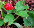 Wild strawberrie along the forest path sweet red strawberry side lane late summer day Stock Photo