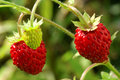 Wild strawberries. Stock Photo