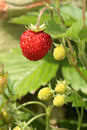 Wild strawberries. Stock Image