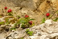 Wild strawberries grow on rock Royalty Free Stock Photo