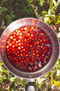 Wild strawberries in a pot Royalty Free Stock Photo
