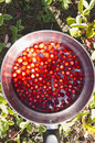 Wild strawberries in a pot of water Royalty Free Stock Photo