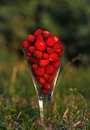Wild strawberries, red delicacy Stock Images