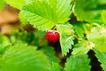 Wild strawberries in summer forest Stock Images