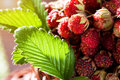 Wild strawberries in the sun Stock Photo