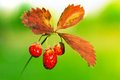 Wild strawberries in the sunset Stock Photos