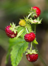 Wild strawberry Stock Photography