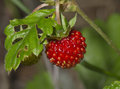 Wild strawberry berry close up Stock Photos