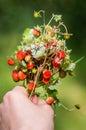 Wild Strawberry Bouquet In Han...