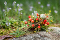 Wild strawberry bouquet Royalty Free Stock Photo