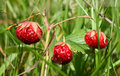 Wild strawberry close-up Royalty Free Stock Photography