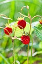 Wild strawberry in forest Royalty Free Stock Photo