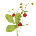 Wild strawberry fragaria vesca fruit flowers and foliage isolated against white Royalty Free Stock Photography