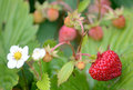 Wild strawberry fruit Stock Photos