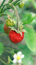 Wild strawberry growing macro closeup Royalty Free Stock Photography