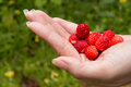 Wild strawberry in hand Royalty Free Stock Photo