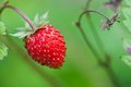 Wild strawberry hanging on stem on a meadow. Stock Images