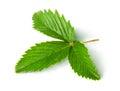 Wild strawberry leaf isolated on white background Stock Image