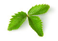 Wild strawberry leaf top view isolated on white background Royalty Free Stock Image