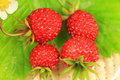 Wild strawberry macro Stock Photography