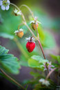 Wild strawberry macro Royalty Free Stock Photo
