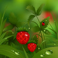 Wild strawberry in the morning forest Royalty Free Stock Photo