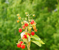 Wild strawberry plant Royalty Free Stock Photography