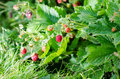 Wild strawberry shot of raspberries growing in the garden Stock Images