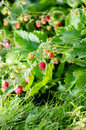 Wild strawberry shot of raspberries growing in the garden Royalty Free Stock Photography