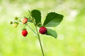 Wild strawberry sprig macro of hautbois twig over green garden background Royalty Free Stock Photos